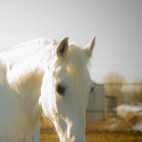 белая лошадь :: Photo Tasja