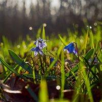 Весенний цветы :: Юрий Стародубцев