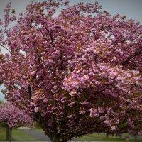 Японская вишня. :: Schbrukunow Gennadi