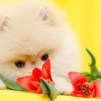 любитель тюльпанов) :: Катерина Терновая