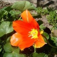 Тюльпан оранжевого цвета :: Нина Корешкова