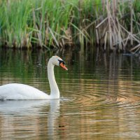 Ах,белый лебедь на пруду.... :: Inna M