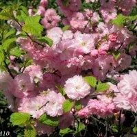 Розовый апрель :: Нина Бутко