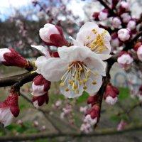 цветок абрикоса :: Людмила