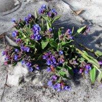 Последний снег и первые цветы :: Татьяна Ким