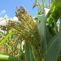 Цветение кукурузы :: Вера Щукина