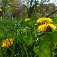 Одуванчики в траве! :: Наталья