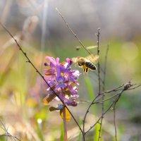 Пчела :: Константин Филякин