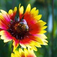Пчелка - труженица. :: Александр Рейтер