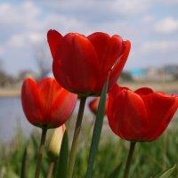 Тюльпаны у реки. :: Сергей Махонин