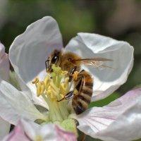Терпению учусь у пчёл... :: Валерий Басыров