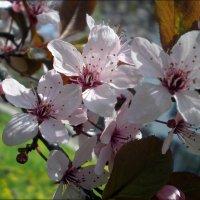 Райская яблоня :: Татьяна Пальчикова