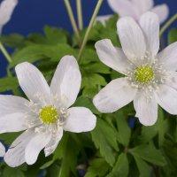 Первые цветы после зимы :: Ольга Рав