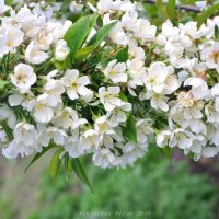 вишни в цвету :: Viktoriya Bilan