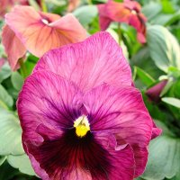 Viola x wittrockiana Delta Persian Surprise :: laana laadas