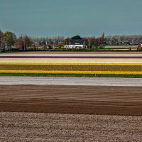 Tulips in Holland 04-2015(2) :: Arturs Ancans