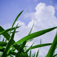 Путь пшеницы в высь :: A ZHADANA