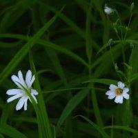 Вечерние звёзды моего сада. :: veilins veilins