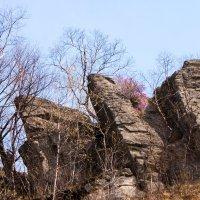 Багульник на скалах. :: Павел Бескороваев