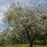 Яблоня в цвету :: Светлана