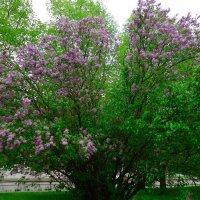 Сирень лиловая цветет... :: Galina Dzubina