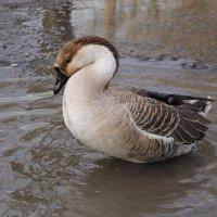 А вот так я  -  вылитый лебедь!!! :: Tatiana Markova