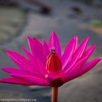 цветок, Камбоджа, 2015 :: Максим Горбунов