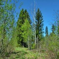 Весенний лес :: Валерий Талашов