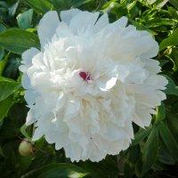 Цветы в моем саду :: Валерий Талашов
