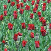 Тюльпаны :: Игорь Попов