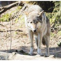 Волк :: Виктор Агеев