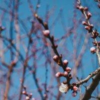 Цветущая абрикоса :: Анжелика Фотограф