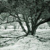 Инфракрасный дуб :: Alexander Varykhanov