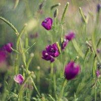 Purple Poppy :: Yekaterina Foto