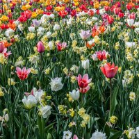 Tulips in Holland 04-2015 (4) :: Arturs Ancans