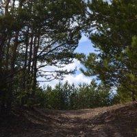 Сосновый лес :: Вера Андреева