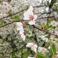 Вишня цветет :: Serg