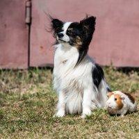 Собака и морская свинка :: Игорь Машкин