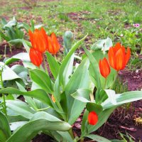 Тюльпаны :: Андрей Снегерёв