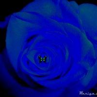 Синяя роза :: Mariya laimite