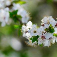 Цветущая вишня. :: Анатолий Клепешнёв