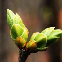 Весна - первые почки :: Damir Si