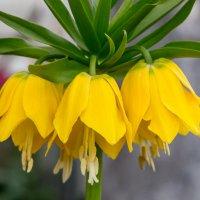Рябчик желтый (Fritillaria lutea), :: Татьяна Калинкина