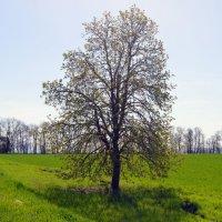 дерево 3 :: Роман Небоян