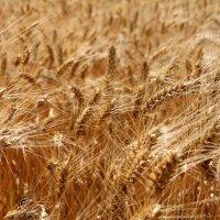Пшеница :: Дарья Халявина