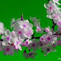 Вдохните глубже аромат весенний :: Mariya laimite