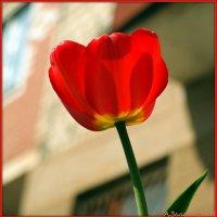 Пламя тюльпана :: Андрей Заломленков