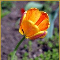 Краски тюльпанов :: Андрей Заломленков