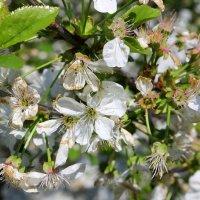 Вишнево и вкусно вишнёвый цвел сад. :: Валентина ツ ღ✿ღ