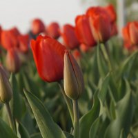 пора цветения тюльпанов :: Ирина ***